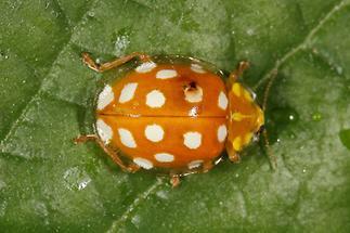 Halyzia sedecimguttata - Sechzehnfleckiger Mariemkäfer, Käfer auf Blatt (1)