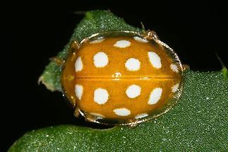 Halyzia sedecimguttata - Sechzehnfleckiger Marienkäfer, Käfer auf Blatt (2)