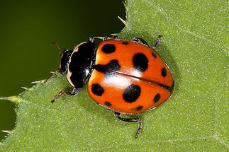 Hippodamia notata - Berg-Marienkäfer, Käfer auf Blatt