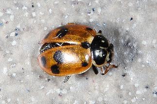 Hippodamia variegata - Veränderlicher Marienkäfer, Käfer auf Balkonboden