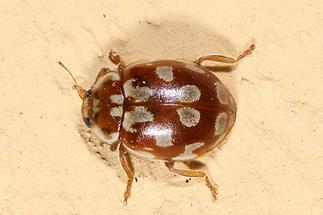 Myrrha octodecimguttata - Achtzehnfleckiger Marienkäfer, Käfer auf Klostermauer