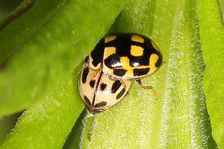 Propylea quatuordecimpunctata - Vierzehnpunkt-Marienkäfer, 2 Käfer