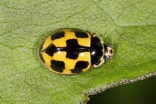 Propylea quatuordecimpunctata - Vierzehnpunkt-Marienkäfer