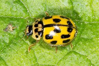 Propylea quatuordecimpunctata - Schwarzgefleckter Marienkäfer, Käfer auf Blatt