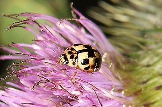 Propylea quatuordecimpunctata - Schwarzgefleckter Marienkäfer, Käfer auf Blüte