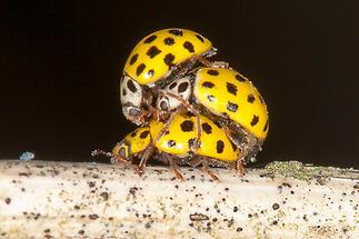 Psyllobora vigintiduopunctata - Zweiundzwanzigpunkt-Marienkäfer, Käfer Paar+