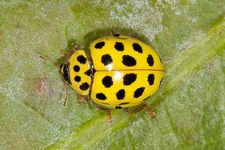 Psyllobora vigintiduopunctata - Zweiundzwanzigpunkt-Marienkäfer, Käfer auf Blatt (1)