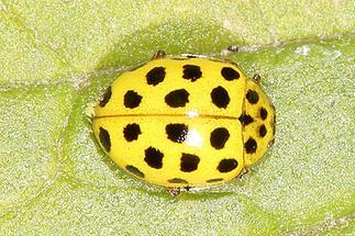 Psyllobora vigintiduopunctata - Zweiundzwanzigpunkt-Marienkäfer, Käfer auf Blatt (2)