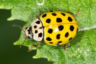 Psyllobora vigintiduopunctata - Zweiundzwanzigpunkt-Marienkäfer, Käfer auf Blatt (3)