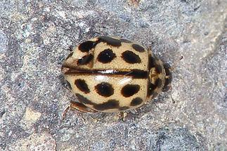 Tytthaspis sedecimpunctata - Siebzehnpunkt-Marienkäfer, Käfer Fahrweg