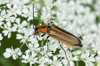 Anogcodes rufiventris - Rotbauch-Scheinbock, Käfer auf Blüten