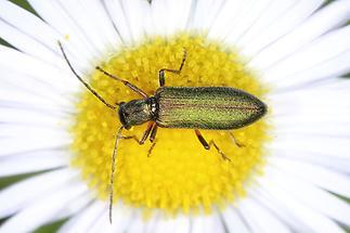 Chrysanthia nigricornis - kein dt. Name bekannt, Käfer auf Gänseblümchen