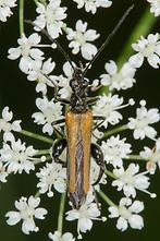 Oedemera femorata - Gemeiner Scheinbockkäfer, Käfer Männchen auf Blüten