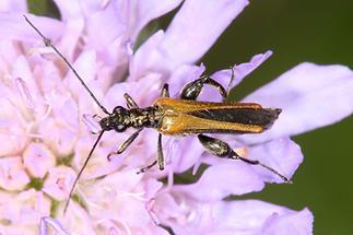 Oedemera femorata - Gemeiner Scheinbockkäfer, Käfer Männchen auf Blume