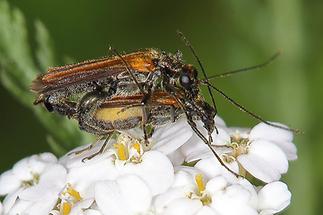 Oedemera femorata - Gemeiner Scheinbockkäfer, Käfer Paar