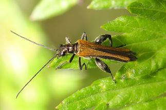 Oedemera femorata - Gemeiner Schenkelkäfer, Männchen