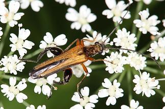 Oedemera podograriae - Echter Schenkelkäfer, Käfer Männchen auf Blüten