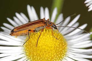 Oedemera podagrariae - Echter Schenkelkäfer, Käfer Weibchen auf Gänseblümchen (1)