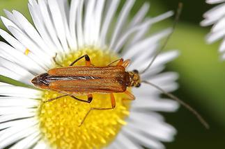 Oedemera podagrariae - Echter Schenkelkäfer, Käfer Weibchen auf Gänseblümchen (2)