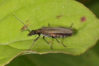 Oedemera virescens - kein dt. Name bekannt