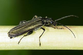 Oedemera virescens - Graugrüner Schenkelkäfer, Käfer Männchen auf Blattstiel