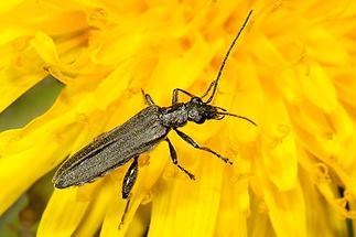 Oedemera virescens - Graugrüner Schenkelkäfer, Käfer auf Löwenzahn (1)
