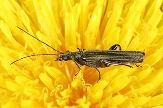 Oedemera virescens - Graugrüner Schenkelkäfer, Käfer auf Löwenzahn (2)