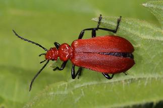 Pyrochroa serraticornis - Rotköpfiger Feuerkäfer, Käfer auf Blatt (1)