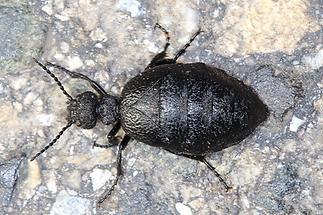 Meloe rugosus - Mattschwarzer Maiwurmkäfer, Käfer Weibchen auf Straße (1)