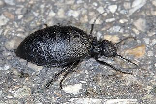 Meloe rugosus - Mattschwarzer Maiwurmkäfer, Käfer Weibchen auf Straße (2)