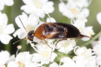 Mordelistena cf. neuwaldeggiana - kein dt. Name bekannt, Käfer auf Blüten
