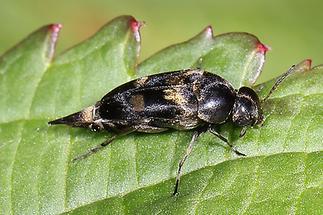 Mordella sp. - kein dt. Name bekannt, Käfer auf Blatt