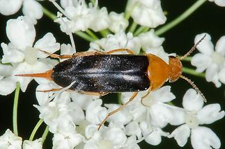 Mordellochroa milleri Emery - kein dt. Name bekannt, Käfer auf Blüten
