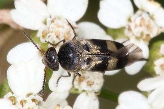 Variimorda cf. villosa - Gebänderter Stachelkäfer, Käfer auf Blüten