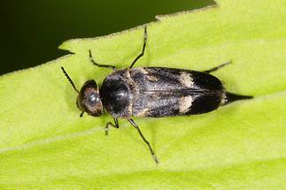 Variimorda sp. - kein dt. Name bekannt, Käfer auf Blatt
