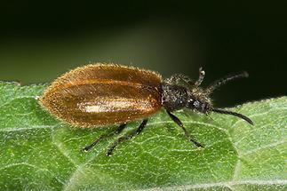 Lagria hirta cf. - Gemeiner Wollkäfer, Käfer auf Blatt (1)