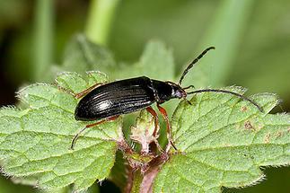 Gonodera luperus - Veränderlicher Pflanzenkäfer, Käfer auf Blatt (1)