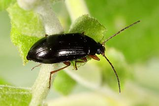 Gonodera luperus - Veränderlicher Pflanzenkäfer, Käfer auf Blatt (2)