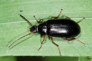 Gonodera luperus - Veränderlicher Pflanzenkäfer, Käfer auf Gras