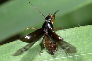 Gonodera luperus - Veränderlicher Pflanzenkäfer, Käfer beim Abflug