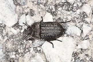 Opatrum sabulosum - Gemeiner Staubkäfer, Käfer auf Fahrweg