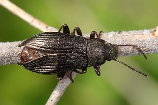 Stenomax aeneus - kein dt. Name bekannt