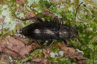 Stenomax aeneus - kein dt. Name bekannt, Käfer auf Waldboden (1)