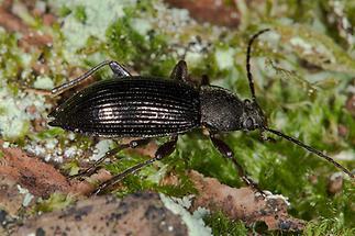 Stenomax aeneus - kein dt. Name bekannt, Käfer auf Waldboden (2)