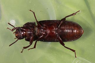 Tenebrio molitoe - Mehlkäfer, Käfer Unterseite