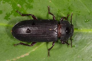 Tenebrio molitor - Mehlkäfer, Käfer auf Blatt