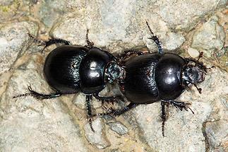 Anoplotrupes stercorosus - Waldmistkäfer, 2 Käfer auf Fahrweg