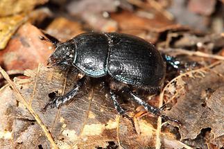 Anoplotrupes stercorosus - Waldmistkäfer, Käfer auf Waldboden
