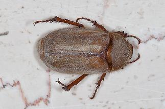 Amphimallon burmeisteri - kein dt. Name bekannt, Käfer auf Fensterbank