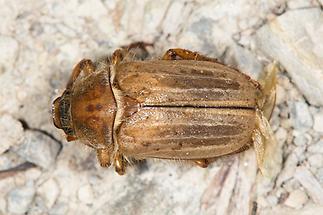 Amphimallon solstitiale - Gerippter Brachkäfer, Käfer auf Fahrweg (2)
